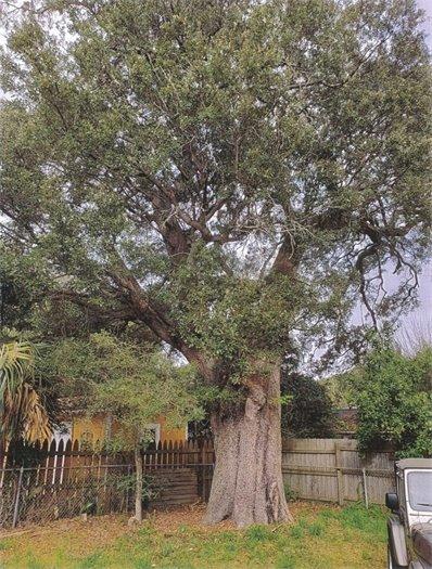 A heritage oak tree