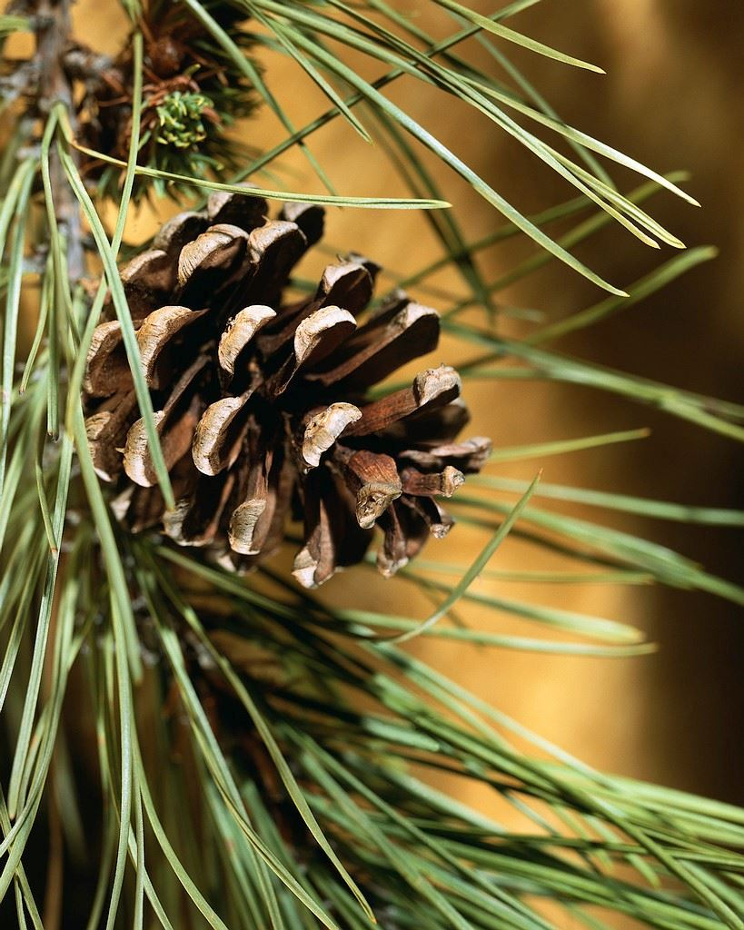 Christmas Tree Branch with Pine Cone