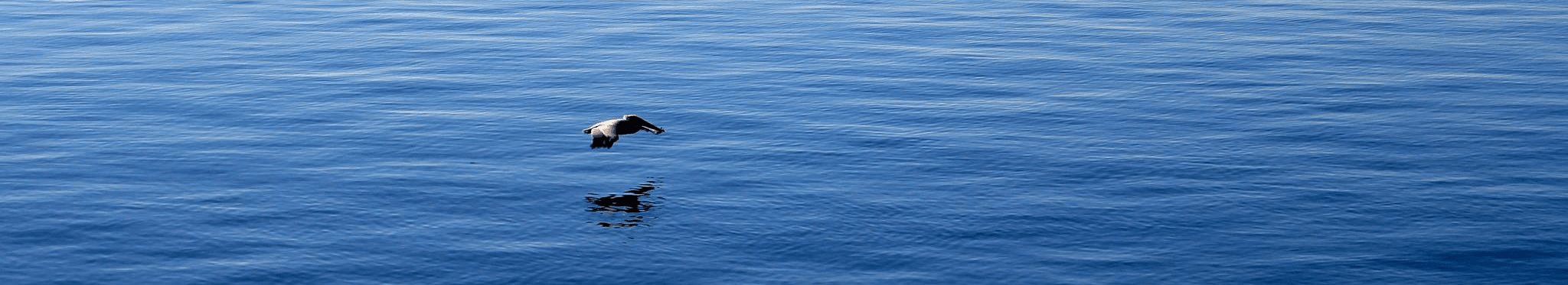 Pelican flying over the water