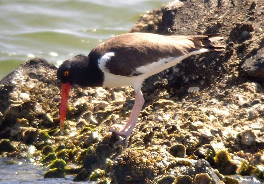 Am_Oystercatcher_PGS_FDEP